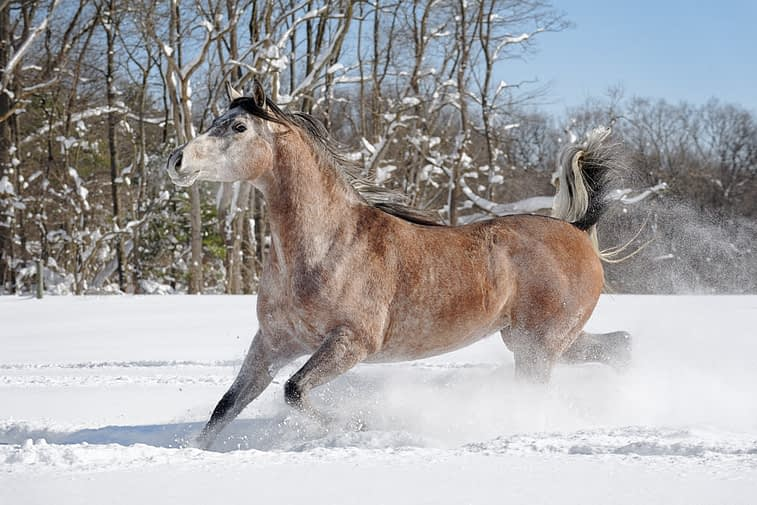 Arabian horse running in deep snow and having fun