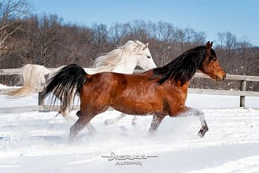 An Arabian horse pair moving along a winter fence line in deep powder snow.