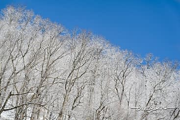 Winter snow covers trees in the forest.