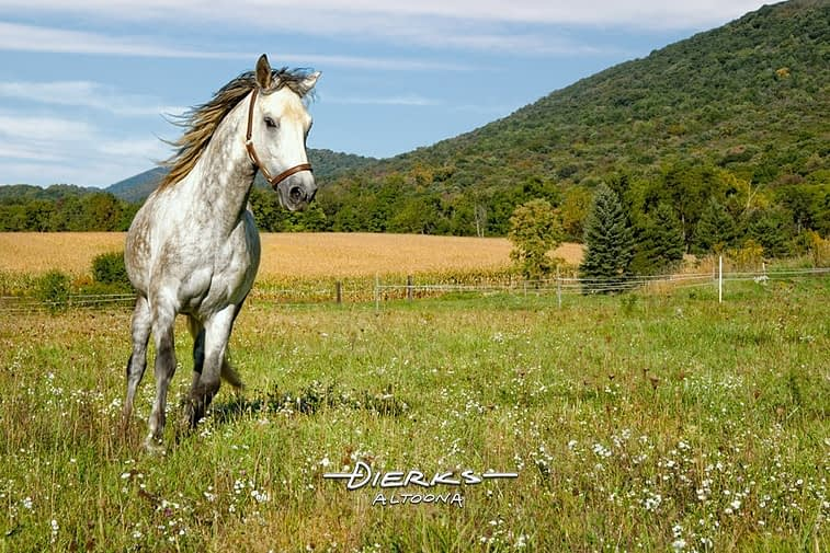 A dapple gray Paso Fin horse runs through a late summer pasture in scenic Pannyslvania.