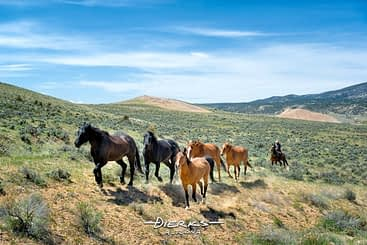 Horse herding in the high desert of Colorado sagebrush country, a land without a tree for miles.