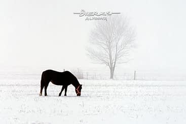 Horse art as one black mare in winter snow photo.