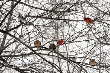 Winter songbirds on tree branches in freezing cold wind.