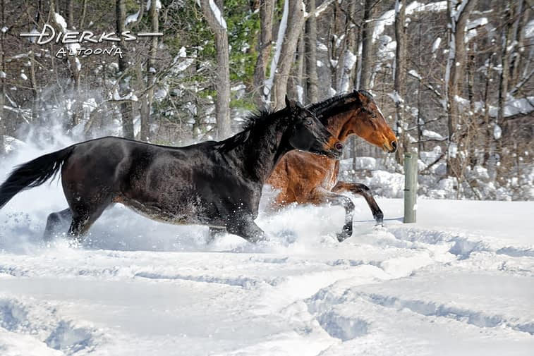 Horses running in deep powder snow
