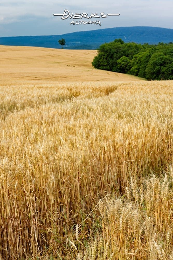 A summer wheatfield in a long view showing fully laden heads of grain. The acres of yellow lead to mountains of blue in the background.A summer wheatfield in a long view showing fully laden heads of grain. The acres of yellow lead to mountains of blue in the background.