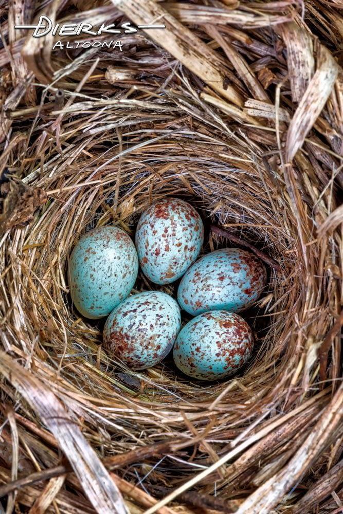 Speckled Wren Eggs in Bird Nest | Think Spring Photo ...