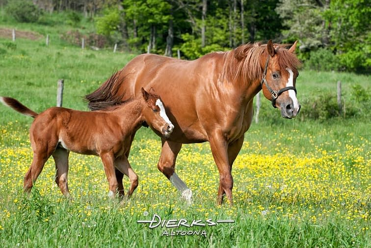 A quarthorse mare and her young foal walking through a Spring field of buttercup flowers.