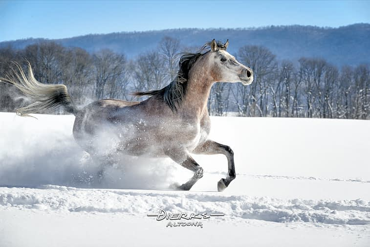 A beautiful horse having fun running through new powder snow and sunshine.