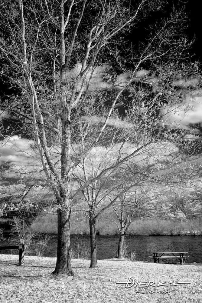 Three winter trees with bare limbs standing like sentinels at the lake edge, red oak, maple, and sycamore done in infrared photography.