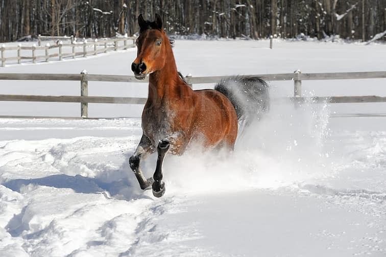 Arabian bay stallion comes through deep snow right at the camera.