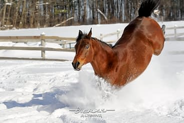 A horse who loves winter snow and kicking up your heels is a great way to show your happiness!